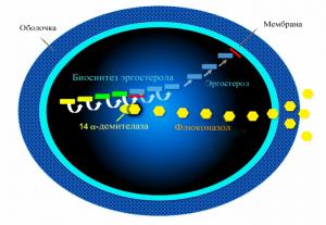 Флуконазол провоцирует уничтожение эргостерола у клетки